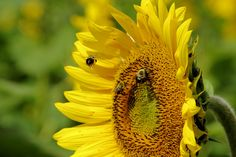 Bubble bees enjoying a #sunflower on Biltmore Estate in Asheville NC