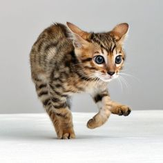"Unlike most mammals, when cats walk, they use a ""pacing"" gait; that is, they move the two legs on one side of the body before the legs on the other side. This trait is shared with camels and giraffes. As a walk speeds up into a trot, a cat's gait will change to be a ""diagonal"" gait, similar to that of most other mammals: the diagonally opposite hind and forelegs will move at the same time. It's easy to see in this cute picture :)"
