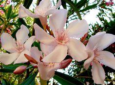 OLEANDER HAUS  Nerium Oleander Gotsis Achill Nerium, Create, Plants, Board, House, Plant, Sign, Planks, Planting