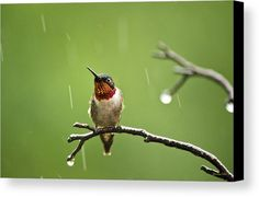 Another Rainy Day Hummingbird Canvas Print by Christina Rollo.  All canvas…