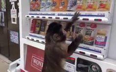 Scimmietta usa un distributore automatico