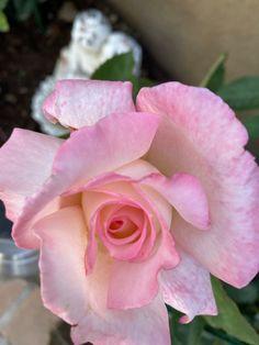 Flanders Field, Rose, Flowers, Plants, Pink, Plant, Roses, Royal Icing Flowers, Flower