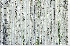 White Birch Tree Forest by Oscar Gutierrez