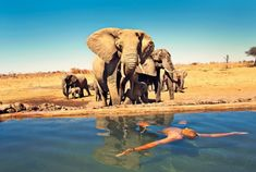 "Fancy a swim? ""The breeding herd of elephants who frequent Somalisa Camp (within Hwange National Park) have a water hole but often prefer what's on offer at the property's pool. Watching them approach is owner Beks Ndlovu."""