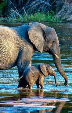 Amazing wildlife - Elephant with baby photo River crossing at the MalaMala Game Reserve, South Africa, photo: Douglas Croft Animals And Pets, Baby Animals, Cute Animals, Baby Elephants, Photos Of Elephants, Baby Hippo, African Animals, African Elephant, African Safari