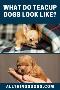 7 Cutest & Most Popular Teacup Dogs Perfect For Snuggles and Love Teacup Dog Breeds, Teacup Dogs, Cute Dogs Breeds, Snuggles, All The Colors, Chihuahua, Tea Cups, Teddy Bear, Shapes