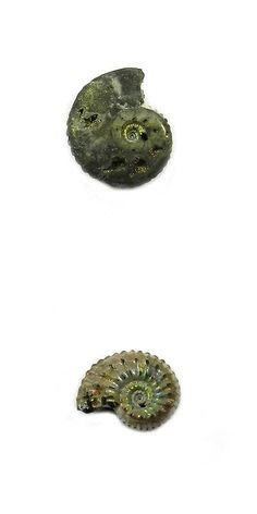 Ammonite 181078: 1Pcs Rare Product 18Mm Russian Pyrite Ammonite Fossil Jewelry Gemstone Gs00832 -> BUY IT NOW ONLY: $32.05 on eBay!