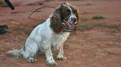 Sophie, an English springer Spaniel... trained to locate feral cats , so native animals may be safely released into enclosures in Australia