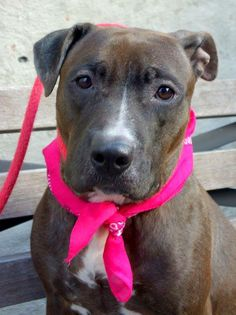 URGENT - Manhattan Center    LOVELY - A0995680  *** LIVED WITH SIX (!) CHILDREN ***   FEMALE, BR BRINDLE / WHITE, PIT BULL MIX, 2 yrs  OWNER SUR - EVALUATE, NO HOLD  Reason NEW BABY   Intake condition NONE Intake Date 04/04/2014, From NY 10469, DueOut Date 04/04/2014  https://www.facebook.com/photo.php?fbid=783122208367327&set=a.617938651552351.1073741868.152876678058553&type=3&permPage=1