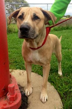 "Meet pretty girl ""SAMANTHA"" (princess in the making) # 09 was found in LORAIN COUNTY...no one has come for her...she is now adoptable!!! https://www.petfinder.com/petdetail/30461156/"