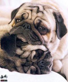 Pugs #pug