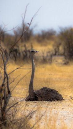 640x1136 Обои страусы, природа, африка