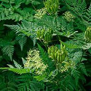 Myrrhis odorata (Sweet cicely) - Fine Gardening Plant Guide