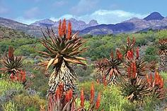 The pride of the Eastern Cape - Aloes BelAfrique - Your Personal Travel Planner - www.belafrique.co.za