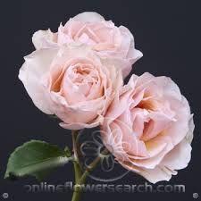 jana spray rose