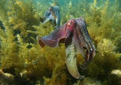 The study started as an investigation into declining numbers of the giant Australian cuttlefish (Sepia apama), pictured here in Spencer Gulf, South Australia. (Image credit: David Wiltshire)