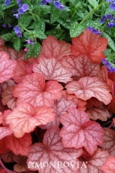 Georgia Peach Heuchera - Very unique foliage color. Medium Shot :: Credit: Terra Nova