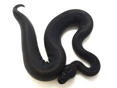 Cinnamon Super Mahogany - Morph List - World of Ball Pythons