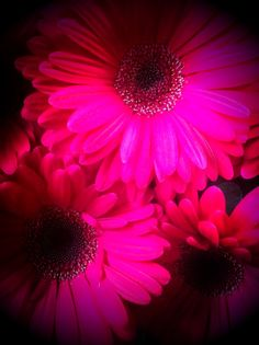 The Hottest of Pink Gerbera