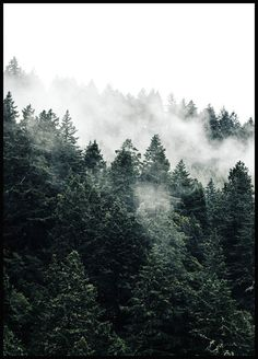 Pine Tree In The Fog in der Gruppe Poster / Naturmotive bei Desenio AB (. Pine Tree In The Foggy Forest, Misty Forest, Pine Forest, Deep Forest, Forest Poster, Gold Poster, Poster Photo, Poster Online, Book Covers