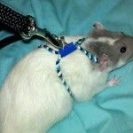 DIY Rat Harness
