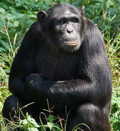 Natasha, the 22-year-old chimpanzee, displays a level of social intelligence that is changing the way we view apes