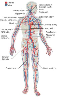 UCADIA | UCA Journey | Human body and mind | System: circulatory system