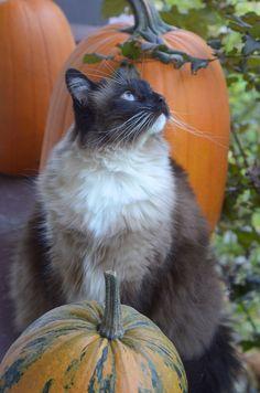 Cat and pumpkins! Picturesque!