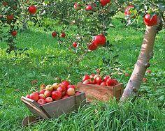 Соседствующие деревья в саду — друзья и антагонисты. Аллелопатия плодовых деревьев. Совместимость плодовых деревьев. Сегодняшняя статья будет особенно полезна тем, кто планирует закладку сада, а также тем, у кого в саду есть угнетенные растения со слабым ростом и малой урожайностью...