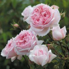 The Wedgwood Rose | rosenpark-draeger.de  Englische Rose 120-150 11,9