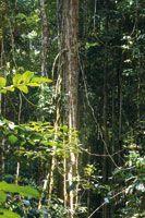 En la estructura multiestratificada de la selva, diversidad de lianas trepan por el tronco de los árboles hasta alcanzar el dosel.