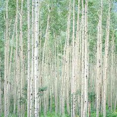 """Summer Aspen Forest"" by landscape photographer Christopher Burkett, the Ansel Adams of color photography."