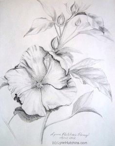 Hibiscus Original Pencil Drawing Flower Floral Still Life Fine Art