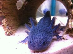 Blue Melanoid axolotl