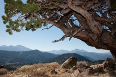 """""""Juniper Tree - This very old juniper tree was photographed along Monitor Pass, California. Juniper Tree, Photo Tree, Lake Tahoe, Bonsai, California, Mountains, Dragon Age, Photography, Travel"""