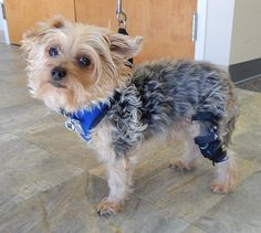 Even small dogs like Charlie can get a knee brace because our braces are custom based from a cast of the dog's leg.