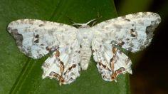 Moth from Mindo in Ecuador: www.flickr.com/photos/andreaskay/sets/72157647048803981