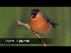 Bouvreuil pivoine - YouTube Birds, Little Birds, Animaux, Botany, Bird, Birdwatching