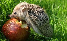 Gerade junge Igel brauchen im Herbst viel kalorienreiche Nahrung, damit sie sich für den Winterschlaf die nötigen Fettreserven anfressen können. Äpfel sind da eher eine Notlösung