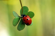 Ladybird by David Lev on 500px