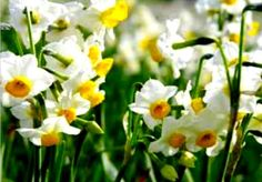 Narcissus, jonquil Because of the specific aromatic flower of collecting too. It is a perennial and bulbous found in moist rocky locations. Saint David's Day, Narcissus Flower, Rose Wedding Bouquet, Coloring Easter Eggs, Cymru, Daffodils, Holidays And Events, Spring Time, Early Spring