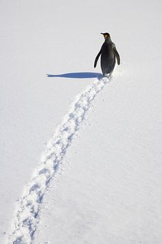 King Penguin walking through snow, Antarctic Bay, South Georgia Island