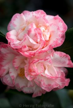 "Camellia japonica ""Margaret Davis"""