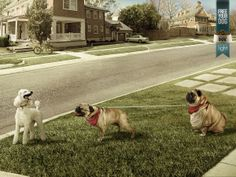12 Hidden Tricks Advertisers Use to Sell You Stuff | This ad for dog food employs subtle humor to get its point across. The chubby dog envisions himself as the lighter pup approaching the pretty poodle. Ultimately, by giving your dog this light dog food, you're helping him achieve his dream.  Prolam Y