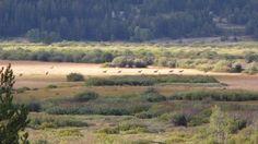 elk herd, Jackson Lake