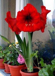Como cuidar de Amarílis. A Amarílis, que também pode ser conhecida por Açucena ou Flor da Imperatriz, é uma planta que pode alcançar a altura de meio metro e dona de uma beleza ornamental incomum, graças às suas flores enorme...