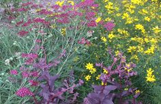 Achillea millefolium 'Summerwine' with Sedum 'Purple Emperor'