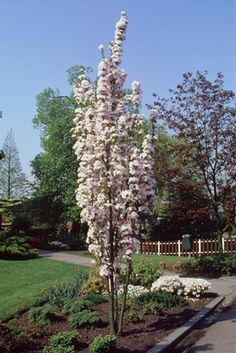 Prunus serrulata Amanogawa - to line the driveway Fence Trees, Garden Trees, Garden Paths, Baumgarten, Prunus, Cherry Tree, Dream Garden, Garden Inspiration, Beautiful Gardens