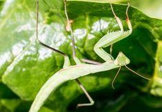 Insecte benefice în grădina ecologică Salvia, Habitats, Plant Leaves, Organic, Fruit, Gardening, Sun, Agriculture, Plant