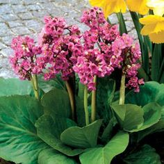 Called heartleaf bergenia gives a popular ground cover for bergenia crassifolia. Description from crisasantos.com.br. I searched for this on bing.com/images
